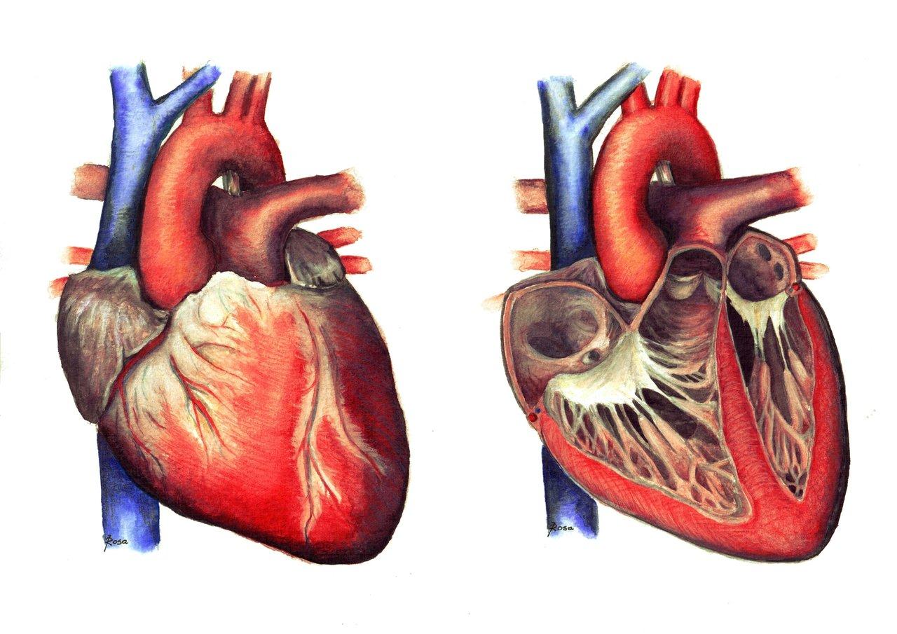 Картинки сердца в разрезе