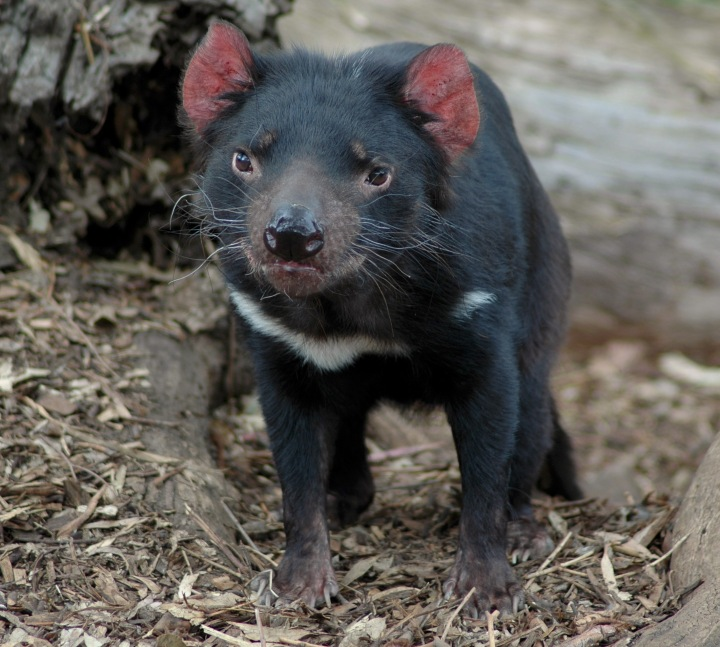 Young_tasmanian_devil.jpg