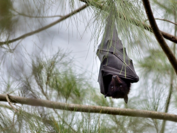 black-flying-fox.jpg