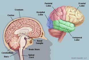 brain .jpeg