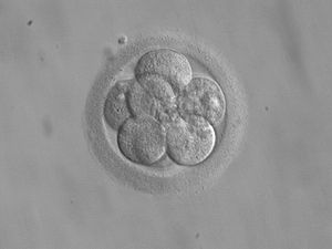Figure 1. Close interaction between embryonic trophoblast stem cells and embryonic stem cells resembles natural embryo development.