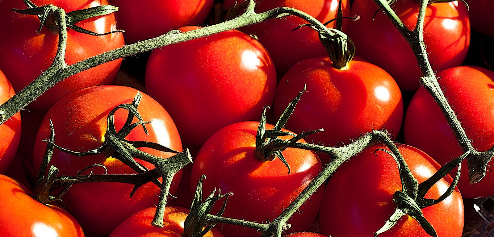 Figure 1: Researchers use chemistry and genetics to investigate what makes the best tasting tomato to improve the tasteless modern commercialized varieties.