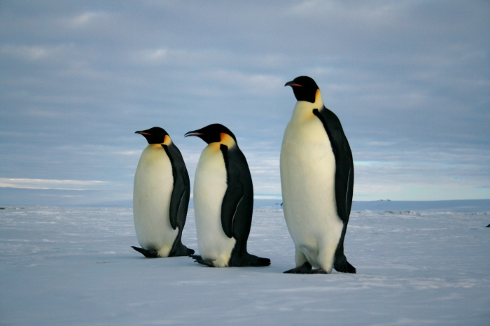 Figure 1.  A mathematical model predicts a grim future for emperor penguins under all scenarios of migration.