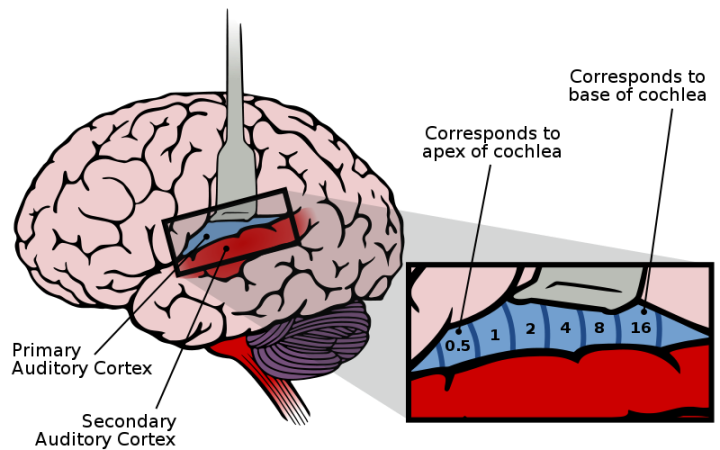 Figure 1: The auditory cortex of the brain highlighted with mapping of sound frequencies.