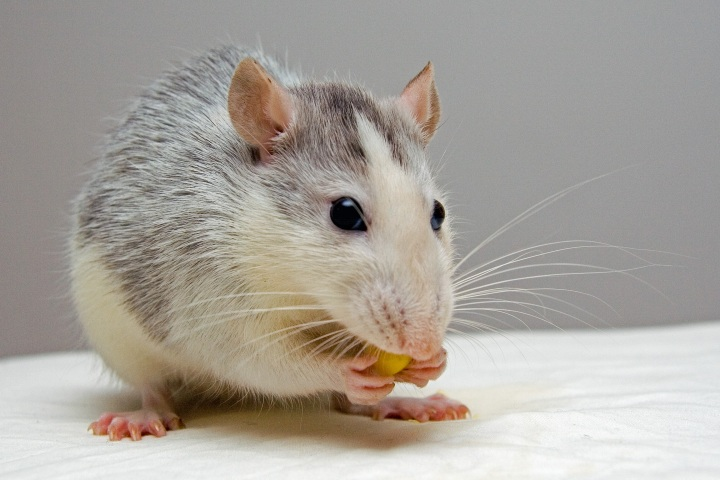 Caption: Mice brains are similar to humans, with study results suggesting that sleep disturbances can lead to the formation of neurodegenerative plaques.