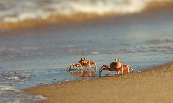 Figure 1. Ghost crabs are Crustaceans of the subfamily Ocypodinae, found in intertidal zones in America's Pacific Coast and elsewhere around the world.
