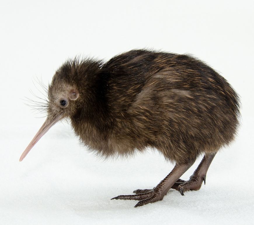Figure 1. Biologists find visual impairments in a kiwi population that lead them to believe that vision is unrelated to kiwi survival.