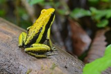 Figure 1: The poison frog, Ameerega bassleri, is one of the three studied lineages of frogs that evolved resistance to epibatidine, a toxin lethal in microgram-doses.