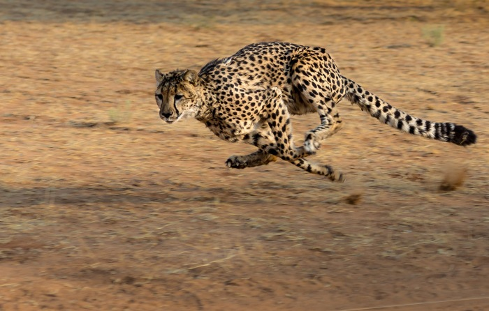 running_cheetah.jpg