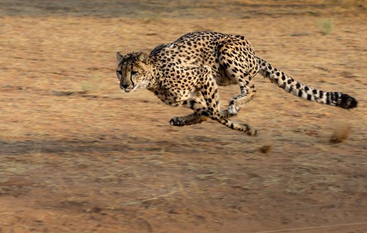 running_cheetah.jpg