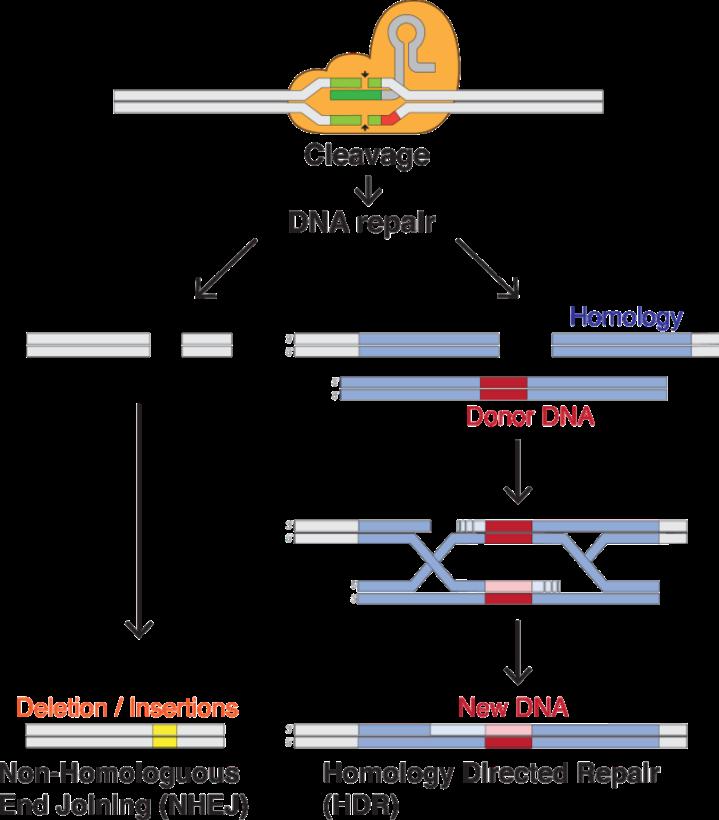 CRISPR.png