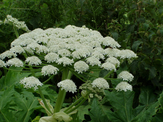 gianthogweed.jpg
