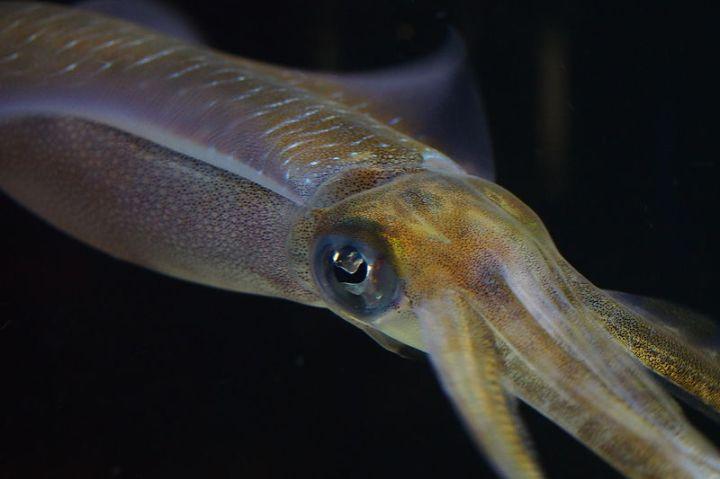 Bigfin_Reef_Squid_(Sepioteuthis_lessoniana)_(16063247395)