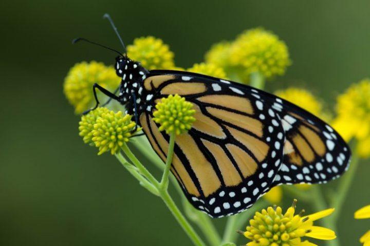 macro yellowish big Monarch butterfly flower