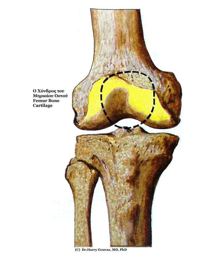 femurcartilage